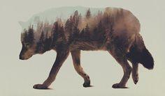 Double Exposure Wolf