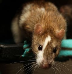 Rat - lovely picture
