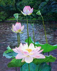 Lotus Painting - Lotus by John Lautermilch Lotus Flower Pictures, Lotus Flower Art, Lotus Flower Paintings, Flowers Nature, Exotic Flowers, Amazing Flowers, Lotus Painting, Lily Painting, Watercolor Flowers