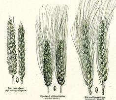 1922 Variété de céréales Epis de Blés Panification ANCIENNE PLANCHE BOTANIQUE illustration Grand Format Larousse