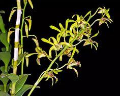 Dendrobium calophyllum
