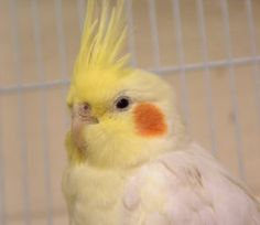SAMMY is an adoptable Cockatiel Parrot in Boston, MA.  ...