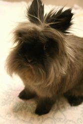 Dexter is a 4 1/2 year old, spayed female, Lion head Rabbit available for adoption at the Fox Valley Humane Association in Appleton, WI.