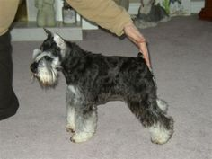 """Salt and Pepper Miniature Schnauzer 