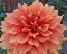 Mango Madness  Dahlia Tuber by DavesDahlias on Etsy