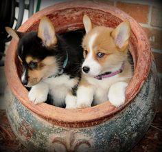Corgi pups in a pot.