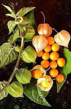 Physalis peruviana, also known Inca berry, Peruvian groundcherry, Peruvian cherry, amour en cage Fruit And Veg, Fruits And Vegetables, Fresh Fruit, Golden Berry, Cape Gooseberry, Gooseberry Growing, Gooseberry Plant, Tropical Fruits, Delicious Fruit