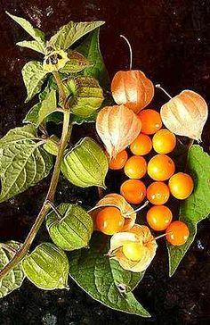 Uchuva. #fruta de #Colombia
