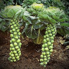 Healthy and versatile in the kitchen, Brussels Sprouts are little cabbages of goodness. Stop paying outrageous grocery store prices - grow your own!