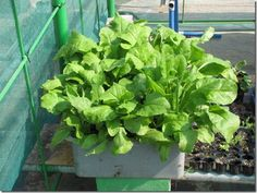 Growing Spinach in Containers plant, garden grow, idea, garden helper, herbal garden, growing spinach in containers, apart, grow spinach in container, container spinach