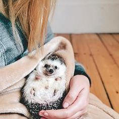 Tiny hedgy baby Did you know that baby hedgehogs are called 'hoglets'? #hedgehog #hoglet #cuddletime #snugglebug #weeklyfluff