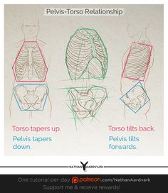 Tutorial 151 - Pelvis-Torso Relationship. Here's a simple visual showing a few basic relationships between the simplified masses of the pelvis and torso.   From profile, we can see that if simplified into cuboids, the pelvis tilts forwards and the torso tilts backwards. These angles vary from person to person, sometimes drastically.   From the front, starting at the space between the two masses, the moving vertically up the torso, the shape tapers out to the maximum width and then tapers...