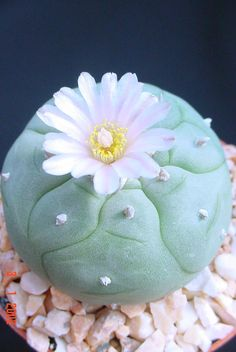 The Witches Garden: Peyote-Lophophora williamsii کاکتوس پیوت یا کاکتوس مقدس