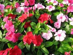 """Periwinkle """"Vinca""""  Mix.  We have: Burgundy, pink, red, violet and white."""