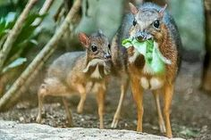The mouse deer. How. Cute.