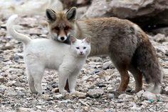 トルコ最大の湖、ヴァン湖のほとりで仲良く遊んでいる野生の猫とキツネがいるという。この2匹は1年以上前から地元の釣り人らによって目撃されていて、常に寄り添い、ときにじゃれあいながら行動をともにしているそうだ。