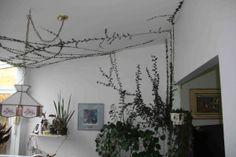 Ficus pumila: une plante grimpante intérieure! Un figuier tapisse-mur. Après plusieurs années...mais alors il ne faut pas avoir besoin de peinturer.
