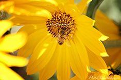 Buy Honey, Fine Art Photography, Dandelion, Bee, Wall Art, Sunflowers, Nature, Handmade, Naturaleza