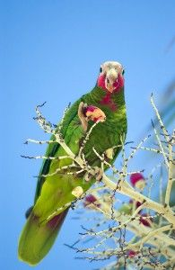 A wild Grand Cayman Parrot... beautiful.  (Amazona leucocephala caymanensis)