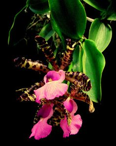 Cattleya aclandiae is a plant in the genus Cattleya. Plant blooms from summer to fall with...