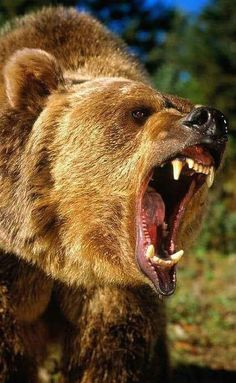 Nature Animals, Animals And Pets, Cute Animals, Majestic Animals, Animals Beautiful, Mein Revier, Grizzly Bear Tattoos, Bear Hunting, Spirit Bear