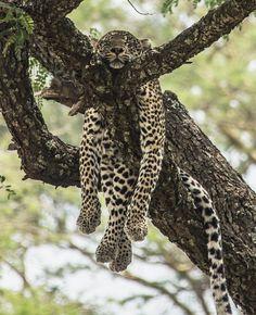 WildLifePlanet Instagram. A leopard lounging in Queen Elizabeth National Park  in Uganda.