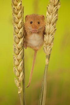 ~~tiny tim | harvest mouse | by Mark Bridger~~