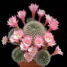 Cactus bonsai Indoor Multifarious Ornamental Plants bonsai Rare Succulents Flower bonsai Can Purify The Air For Jardin 100 Rare Flowers, Exotic Flowers, Beautiful Flowers, Pink Flowers, Cacti And Succulents, Planting Succulents, Planting Flowers, Flower Plants, Cactus Planta