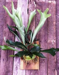 #staghorn ferns...care info