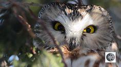 DANS LA NATURE Ep.40 : Petite Nyctale hypnotisante Saw Whet Owl, Nature Sauvage, Wild Nature, Wilderness, Canada, Animals, Animales, Animaux, Animal