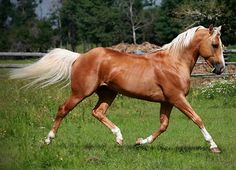 """brass-stars: Firen Hard """"Slick"""" [X] [X] future sire to one of my little dolls Palomino, Equestrian, Horses, Pure Products, Stars, Animals, Dolls, Future, Country"""