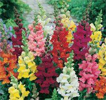 Mufliers à bouquets variés