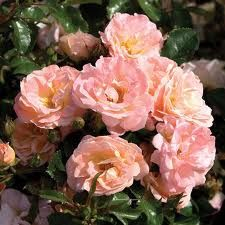 Knock out rose -pink/peach