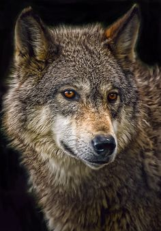 """w-ildbutterfly:    allanimals-:    (via """"Wolf"""" by Cheri McEachin)  Please do not remove credit or change the source!  ANIMAL BLOG    ❀✿Lose yourself in the jungle!✿❀"""