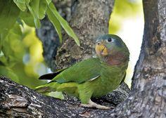 The Yellow-Billed Parrot (Amazona collaria) / Амазон ямайский желтоклювый