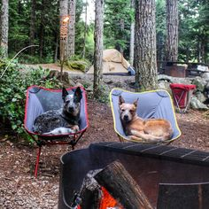 Australian Cattle Dogs - Blue & Red Heelers on their camping holidays! ❤ ❤  source:@west_coast_heeler_pack