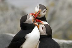 Photo Puffins Kissing by Barbara Motter on 500px