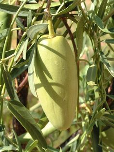 Bush Banana is an Australian native plant. It is found in Central Australia and throughout Western Australia. It is a bush tucker food for Aborigines