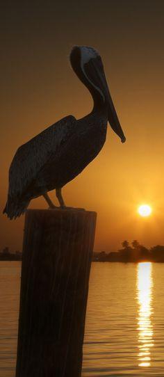 Pelican at Sunrise at Moody Gardens in Galveston Bay, Texas • photo: Edward Wade on Flickr
