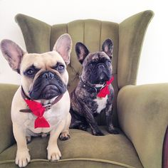 French Bulldogs, via Batpig & Me Tumble It.