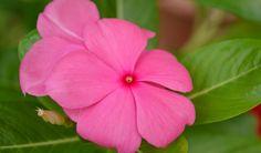 6 Life-Saving Vinca Rosea Medicinal Uses