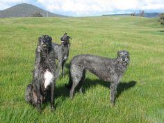 Scottish Deerhounds - Google Search