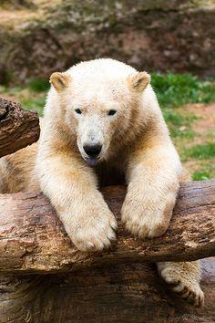 ~~ polar bear by Cloudtail~~ (KiRaidesu: what a cute beast~)
