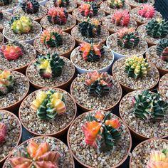 Thai Seeds-Cactus Gymnocalycium mihanovichii Variegata upto 50 seeds, Good germination rate, cactaceae seeds, seeds plant, variegata plants by CACTUSARTIST on Etsy Cactus Seeds, Succulent Seeds, Cacti And Succulents, Cactus Plants, Peat Moss, Live Plants, Planting Seeds, Surat Thani, Cactus