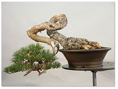 JPB:Bonsai Collection 10 |