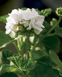 Mary. Pelargonium x hortorum. Kotipelargonit eli vyöhykepelargonit ovat yleisin pelargoniryhmä | Tunne pelargonit | Koti ja puutarha Plants, Plant, Planets