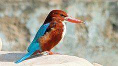 """""""Eisvogel"""" in der Sommerhitze von Israel !  Dieser in großen Teilen Asiens verbreite Vogel heißt auf Deutsch Braunliest (Halcyon smyrnensis) und ist in Zentral- und Nord-Israel zu finden.  Wer von Euch hat ihn hier schon gesehen und fotografiert?"""