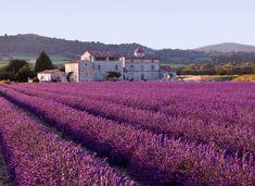Mediterranean vegetation ( fields of lavender ) in Provence, France