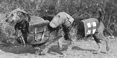 During the First World War, the British Red Cross got lots of help from an unlikely quarter. As Armistice Day approaches, we sniff around for the full story. At first, it sounds like a particularly far-fetched episode of Lassie. A dog, you say, carrying first aid supplies through the whizzing bombs and flying bullets of no man's …