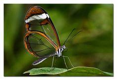Mariposa-transparente Greta Oto